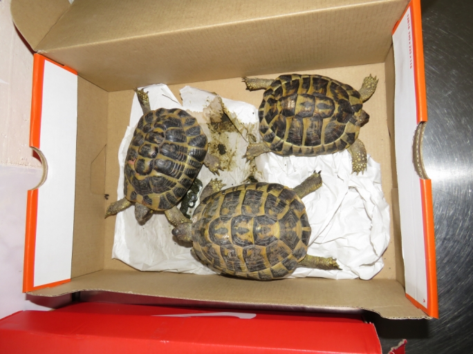 Three of the six tortoises found in the car that had just arrived on the ferry from Sicily (Photo: ERA)