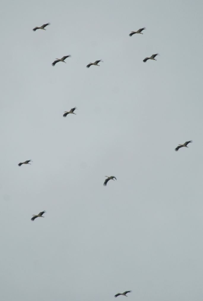 The flock of White Storks which was decimated by Maltese hunters.  Picture by Mark Sultana