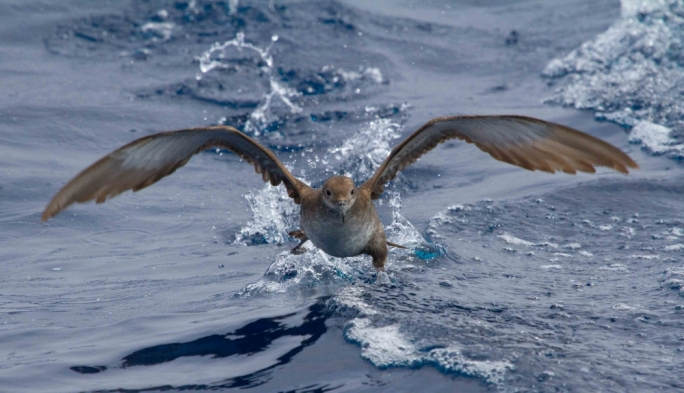The Yelkouan Shearwater is the most threatened seabird species found in Malta