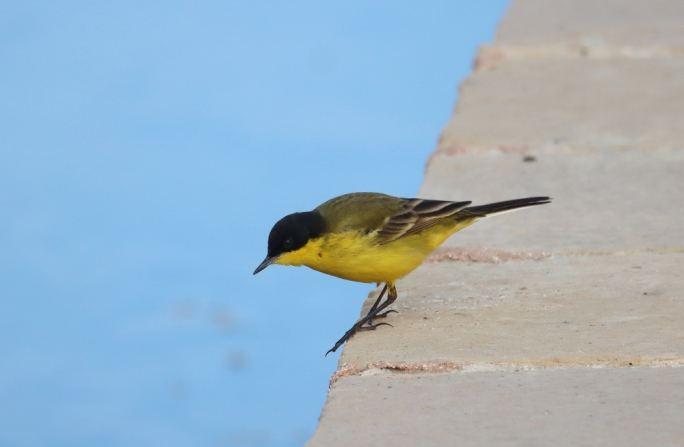 The Yellow Wagtail is very common in Malta during spring (Photo by Mario V Gauci)